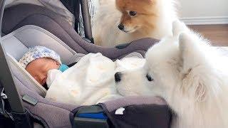 Download 아기 여동생 맞이해 주는 강아지들 Video