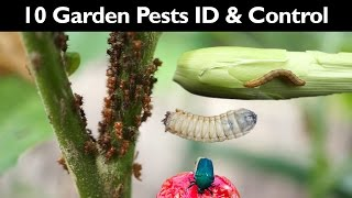 Download Garden Insect Control - How To Control Garden Pests Without Insecticide / Pesticide - Gardening Tips Video