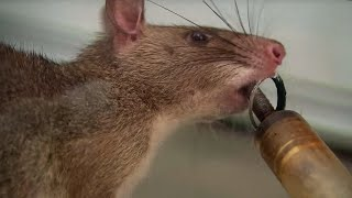 Download Giant Rats Can Detect Tuberculosis! | Extraordinary Animals | Series 2 | Earth Video
