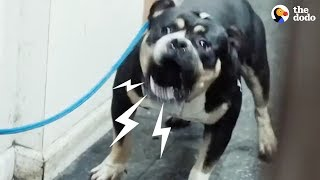 Download ″Aggressive″ Pit Bull Rescued From Basement - DONATELLO | The Dodo Video