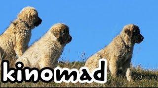 Download Wolf Killer Shepherd Dogs - Волкодав, реальный Video