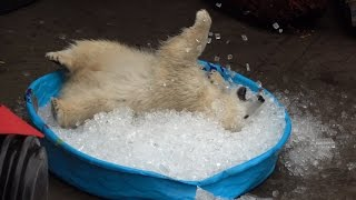Download Nora the polar bear plays in kiddie pool filled with ice Video