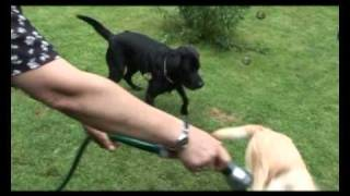 Download Tier.Tv Klasse Rasse Im Portrait: der Labrador Retriever Video