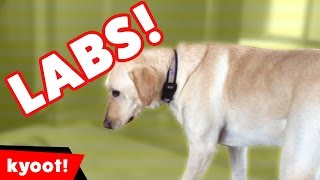 Download The Cutest Funny Labrador Home Videos of 2016 Weekly Compilation | Kyoot Animals Video