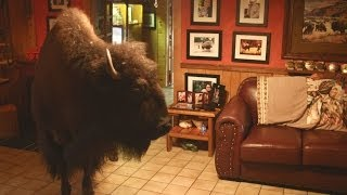 Download Buffalo in the house - Animal Odd Couples: Episode 2 Preview - BBC One Video