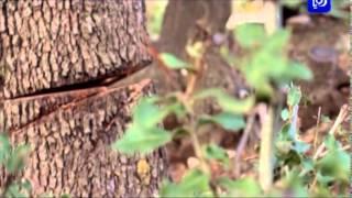 Download استمرار الاعتداءات على الأشجار الحرجية في عجلون Video