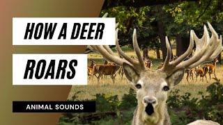 Download The Animal Sounds: Deer Roar - Sound Effect - Animation Video