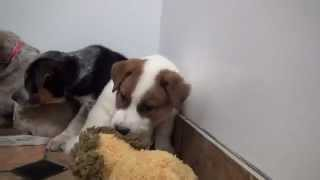 Download Man Keeps Promise to Dead Dog to Save Her Frightened Puppies Video