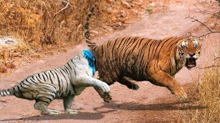 Download WOW! When The Forest God Fight For Territory, Big Cat Destroy Fellow creature 1 way merciless Video