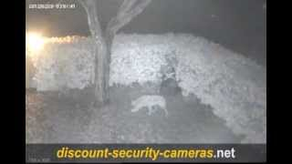 Download Caught On DVR: Coyote Snared Video