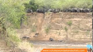 Download Wildebeest Migration in Kenya Masai Mara Part 2 Video