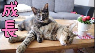 Download [成長まとめ]はちとつむぎの一ヶ月の成長の全て par11..2018.6月16~7月15日[子猫][保護猫] Video