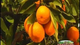 Download Family Tree Farms Satsuma Mandarins Video