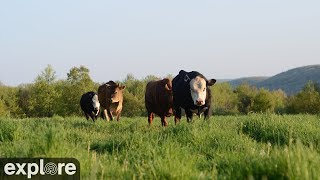 Download Cattle Pasture Panorama at Farm Sanctuary powered by EXPLORE.org Video