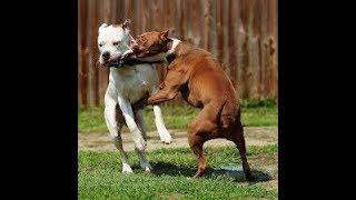 Download Pitbull - Separando brigas Video