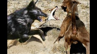 Download Big black Coyote Attacks the dog!!! Video