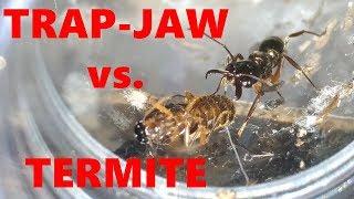 Download TRAP-JAW QUEEN VS. TERMITE QUEEN Video