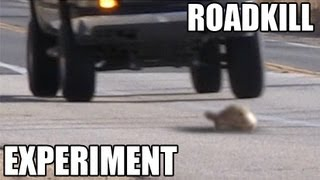 Download Turtles or Snakes- Which do cars hit more? ROADKILL EXPERIMENT Video