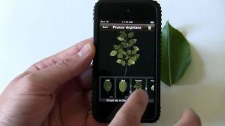 Download LeafSnap iPhone app demo: ID trees by taking a pic of a leaf Video