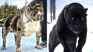 Download 4 Gefährlichste Hunderassen, bist Du nicht der Besitzer dann halte Dich fern! Video