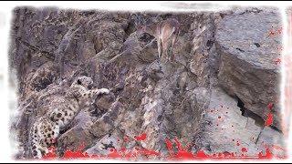 Download Снежный барс. Добыча скалолаза. Video