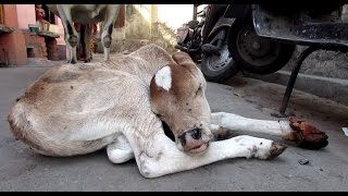 Download Injured baby calf rescued; mama refuses to leave his side Video