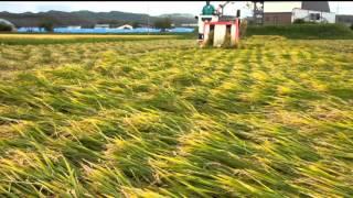 Download 倒伏した稲の刈り取り Video