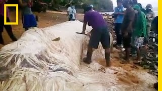 Download Mysterious ″Hairy Blob″ Washes Ashore in the Philippines | National Geographic Video