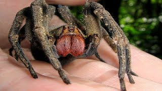 Download 7 Nightmarish Spiders You'll NEVER Want to Encounter Video