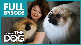 Download Monster Pomeranian: Teddy Pom-Pom | Full Episode | It's Me or the Dog Video