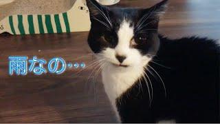 Download 朝から飼い主に猫パンチ、雨の日のおむすびさん Video