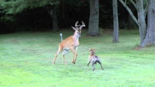 Download Bosco versus deer Video