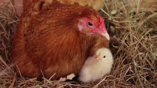 Download Our Chickens Hatching!! Video