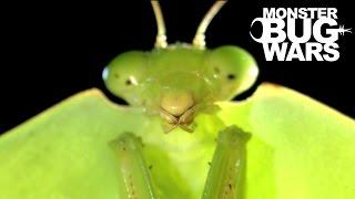 Download Brazilian Wandering Spider vs Hooded Mantis | MONSTER BUG WARS Video
