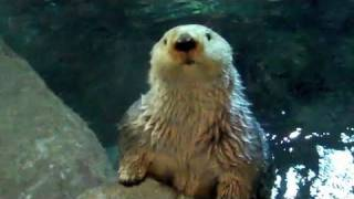 Download Sea Otters Love Ice! Video