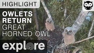 Download Owlets Return To Nest - Great-horned Owl - Live Cam Highlight Video