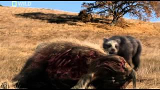 Download prehistoric predators giant bear Video