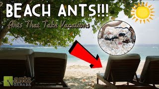 Download Beach Ants Video