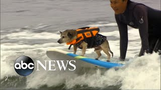 Download Surfing dogs make splash at world championship Video