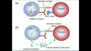 Download Natural Killer Cells: How Do They Kill Selectively? Video