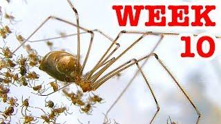 Download Scary Redback Spiders Meet Daddy Long Legs Cellar Spider Week 10 Video
