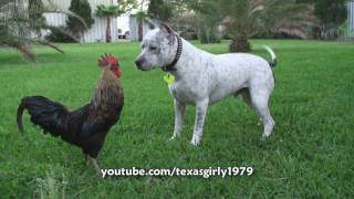 Download Pit Bull Sharky the Bodyguard Dog VS Mr. Rooster ATTACKS. HelensPets Video