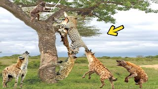 Download Hyenas vs Leopard, When the Hunter Becomes Prey. God Cannot Help Leopard Escaping Hyena Video