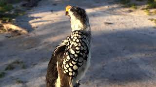 Download Djuma Private Game Reserve Live Stream:Yellow-billed Hornbill Video