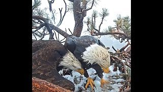 Download Big Bear eagles CA 3 6 19 122pm Congrats Jackie & Shadow 1st egg was laid in snow covered nest Video