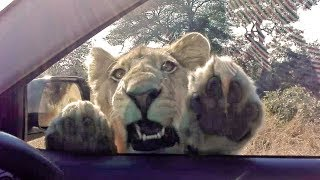 Download When a Wild Lion Tries to Get Inside Your Car! Video