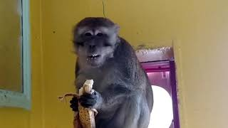 Download Adopted Monkey Devours His Banana Video
