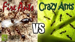 Download Flying Fire Ants vs Cloning Crazy Ants | Amazing Ant Reproduction Video