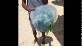 Download قناديل البحر و الاسكندرية Video
