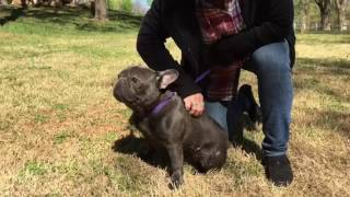 Download Blue compact french bulldog stud Video